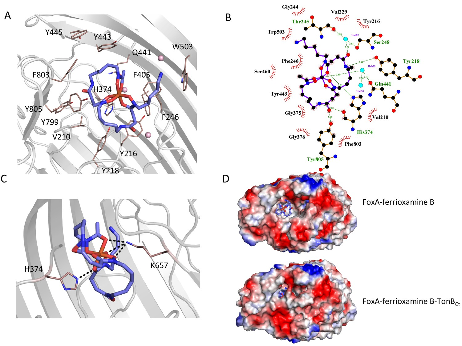 Ternary structure of the outer membrane transporter FoxA