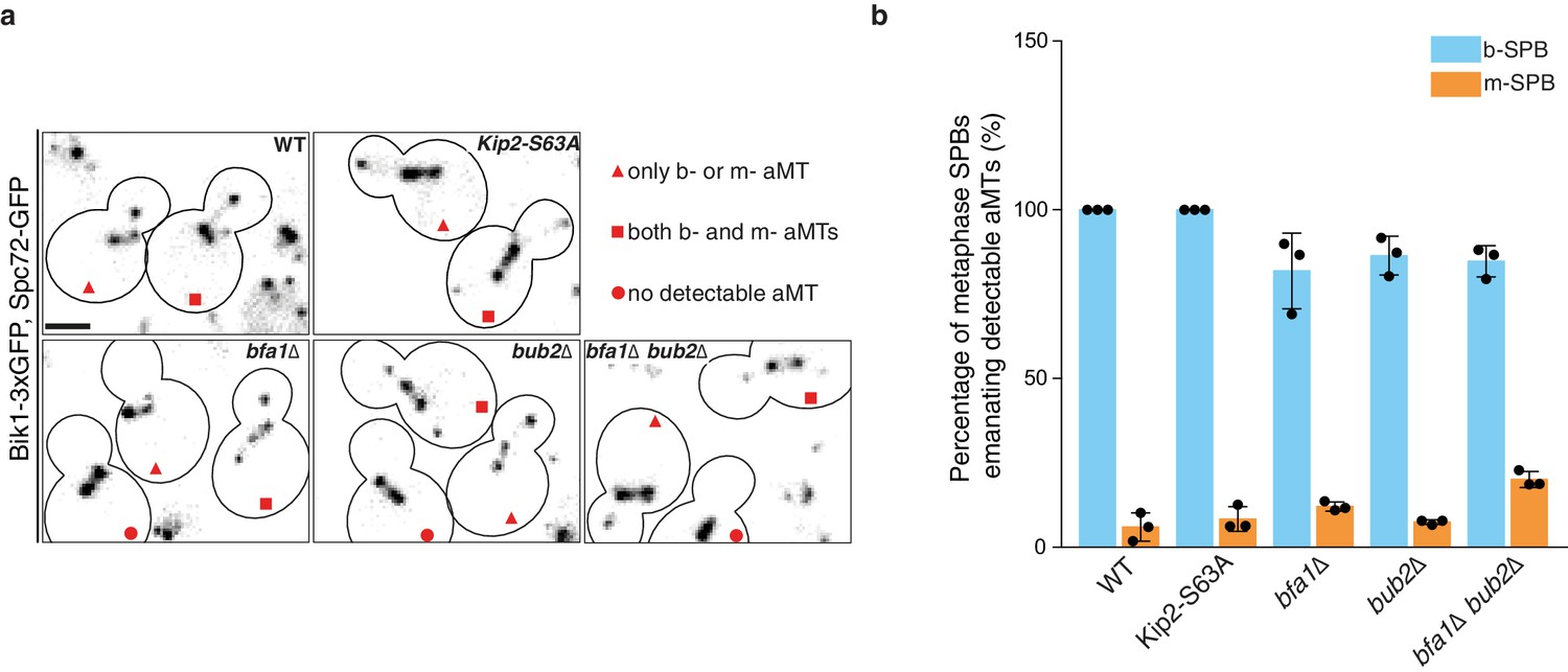 Remote control of microtubule plus-end dynamics and function