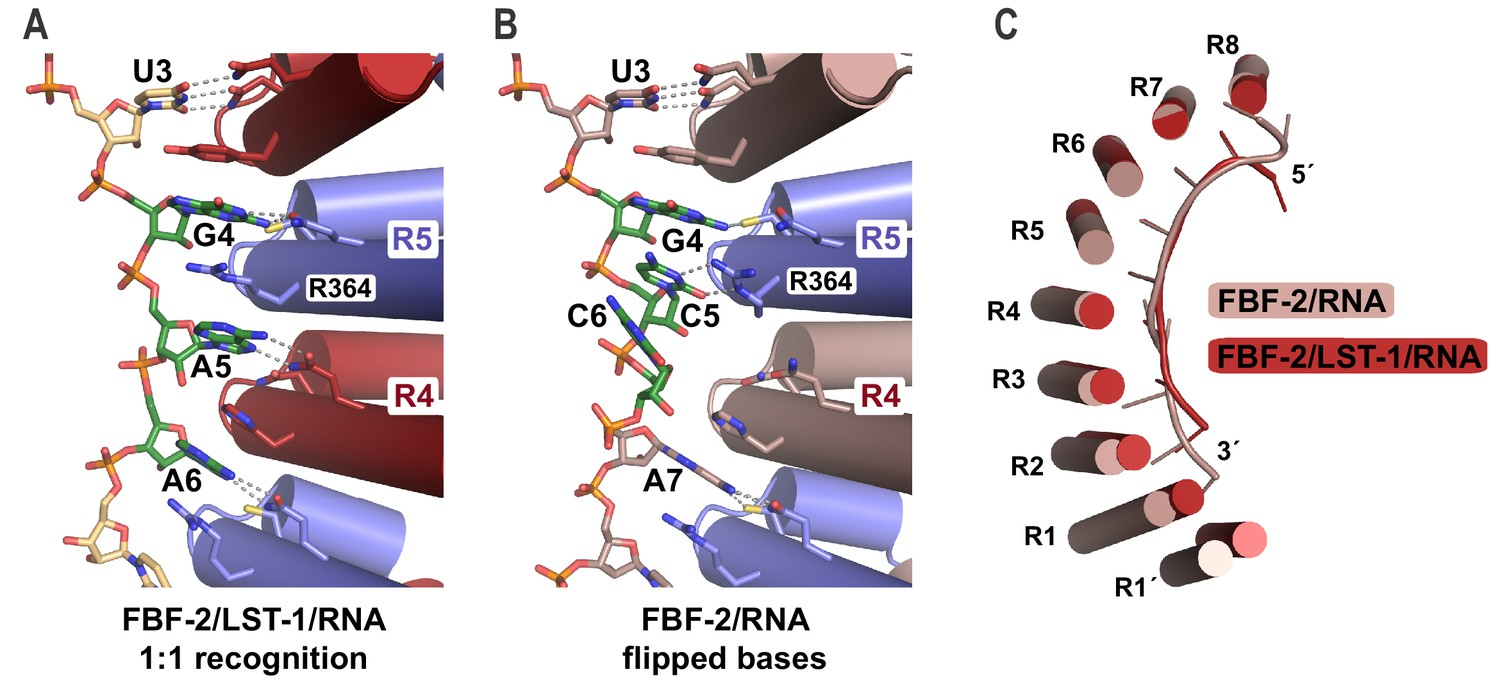 A crystal structure of a collaborative RNA regulatory