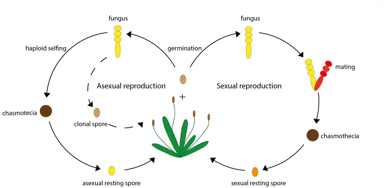 Pdf Reproduction Of Fungi
