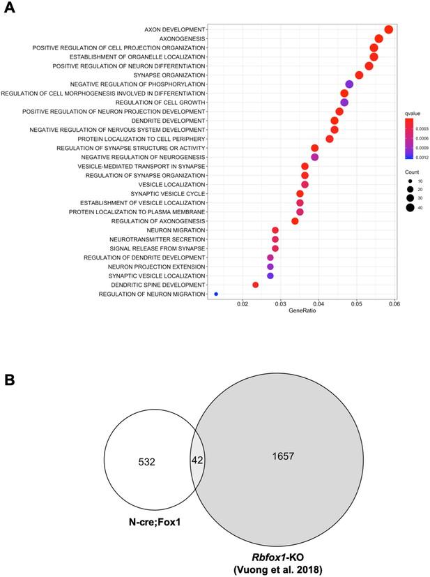 Rbfox1 up-regulation impairs BDNF-dependent hippocampal LTP