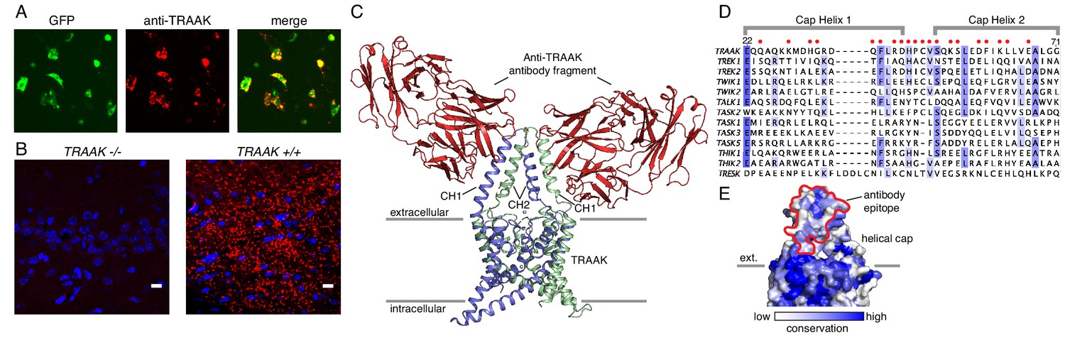 The Mechanosensitive Ion Channel Traak Is Localized To The