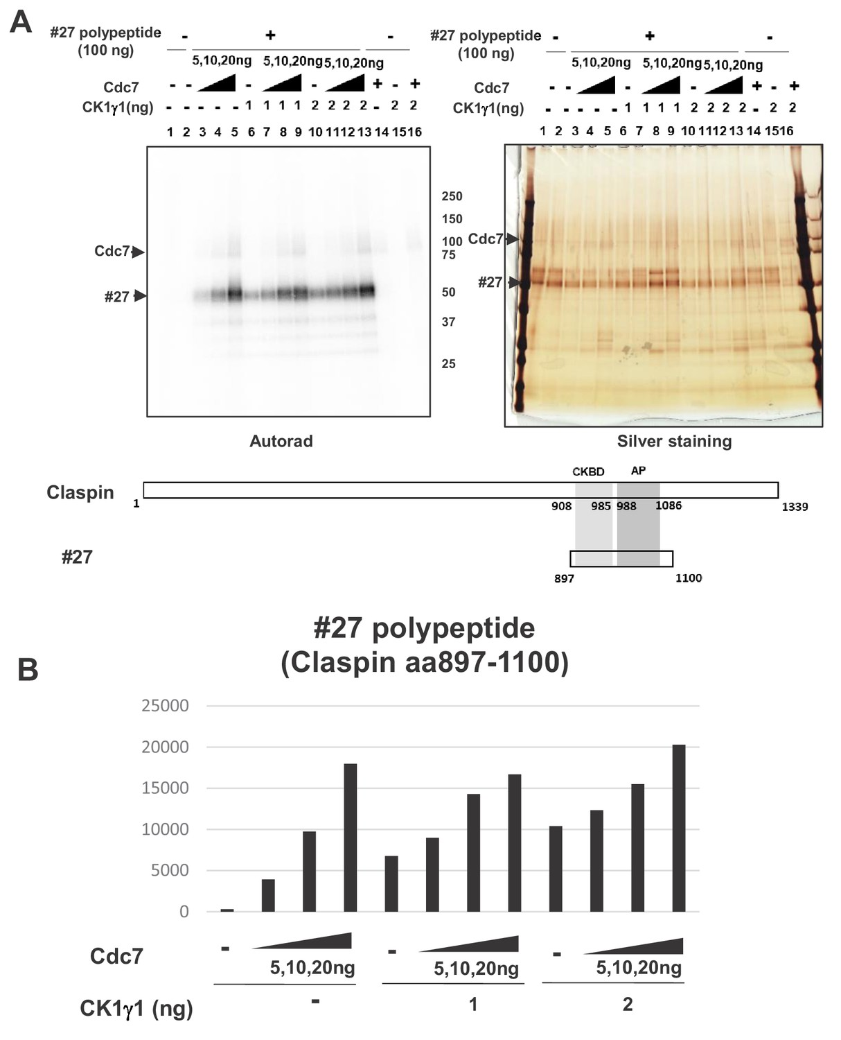 Cdc7 Activates Replication Checkpoint By Phosphorylating The