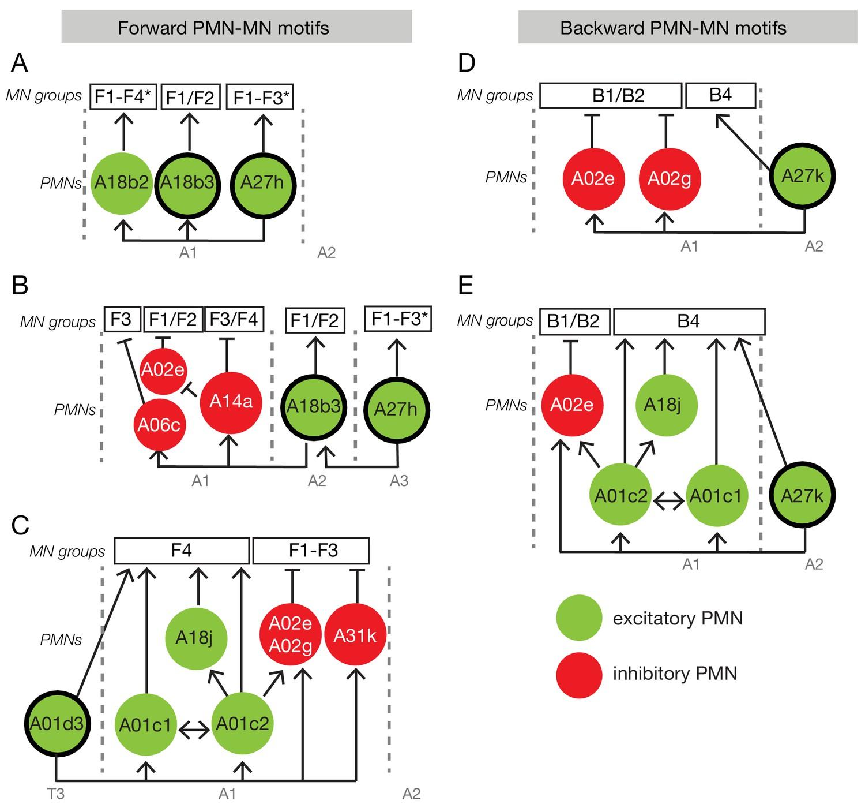 A Multilayer Circuit Architecture For The Generation Of Distinct Locomotor Behaviors In Drosophila Elife