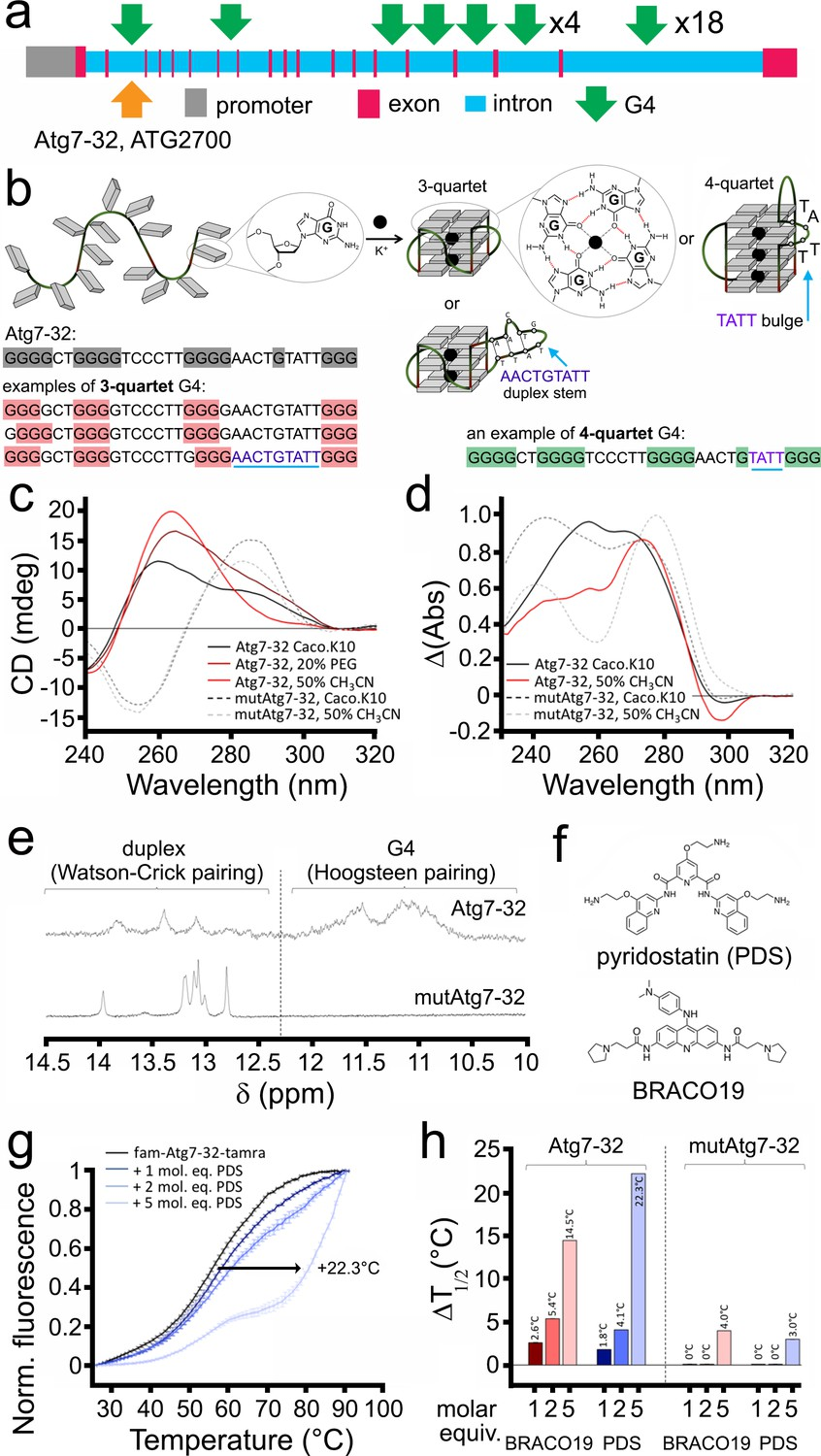 Small Molecule G Quadruplex Stabilizers Reveal A Novel Pathway Of